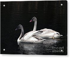 Trumpeter Swan Cygnets Acrylic Print by Sharon Talson