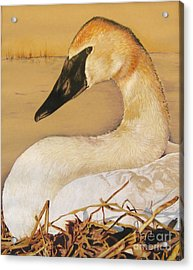 Sold Trumpeter Swan Acrylic Print