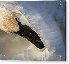 Acrylic Print featuring the photograph Trumpeter Swan - Safe Place by Patti Deters