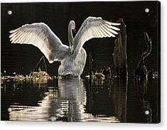 Acrylic Print featuring the photograph Trumpeter Swan Stretch by Inge Riis McDonald