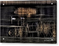 Trumpeter Swans A Swimming Acrylic Print