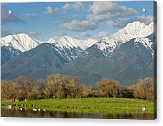 Trumpeter Swans In Pond With Mission Acrylic Print by Chuck Haney