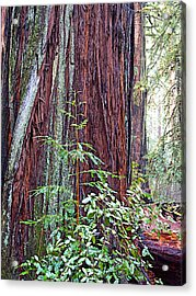 Trunk Of Coastal Redwood In Armstrong Redwoods State Preserve Near Guerneville-ca Acrylic Print by Ruth Hager