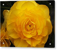 Tuberous Begonia Acrylic Print