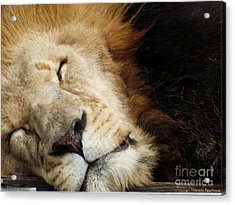 Tuckered Out Acrylic Print