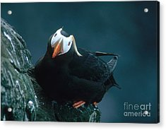 Tufted Puffin Acrylic Print by Art Wolfe