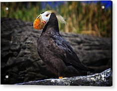 Tufted Puffin Acrylic Print by Mark Kiver
