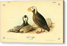Tufted Puffins Acrylic Print by Philip Ralley