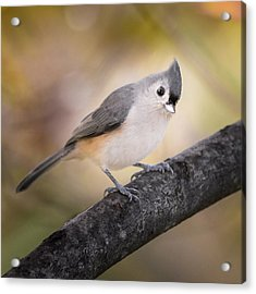 Tufted Titmouse Acrylic Print by Bill Wakeley