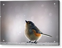 Tufted Titmouse Acrylic Print by Cricket Hackmann