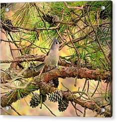 Tufted Titmouse Acrylic Print by Deena Stoddard