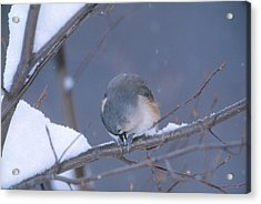 Tufted Titmouse Eating Seeds Acrylic Print