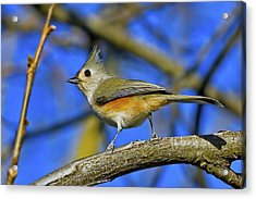 Tufted Titmouse Acrylic Print by Gary Holmes