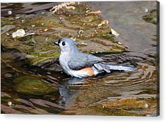 Tufted Titmouse In Pond II Acrylic Print by Sandy Keeton