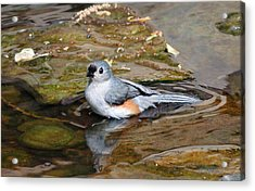 Tufted Titmouse In Pond Acrylic Print by Sandy Keeton