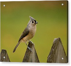 Tufted Titmouse Acrylic Print by Judy Genovese