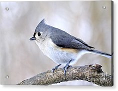 Tufted Titmouse On Dogwood 3 Acrylic Print by Thomas R Fletcher