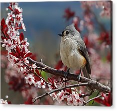 Tufted Titmouse On Ornamental Plum Blossoms Acrylic Print