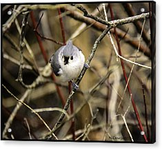 Tufted Titmouse On The Watch Acrylic Print by LeeAnn McLaneGoetz McLaneGoetzStudioLLCcom