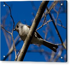 Acrylic Print featuring the photograph Tufted Titmouse by Robert L Jackson