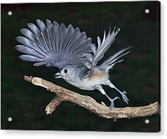 Tufted Titmouse Take-off Acrylic Print
