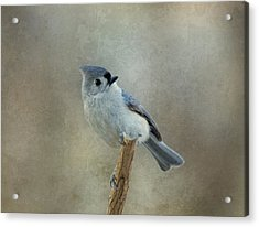 Tufted Titmouse Watching Acrylic Print by Sandy Keeton