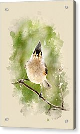 Tufted Titmouse - Watercolor Art Acrylic Print by Christina Rollo