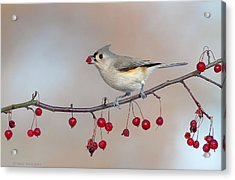 Tufted Titmouse With Red Berry Acrylic Print by Daniel Behm