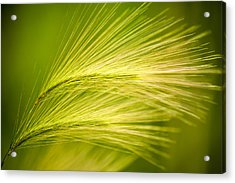 Tufts Of Ornamental Grass Acrylic Print by  Onyonet  Photo Studios