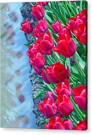 Tuip Reflections Acrylic Print by John Bushnell