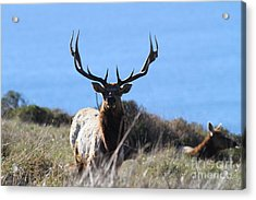 Tules Elks Of Tomales Bay California - 7d21201 Acrylic Print by Wingsdomain Art and Photography