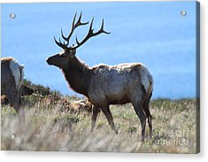 Tules Elks Of Tomales Bay California - 7d21218 Acrylic Print by Wingsdomain Art and Photography