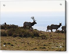 Tules Elks Of Tomales Bay California - 7d21230 Acrylic Print by Wingsdomain Art and Photography