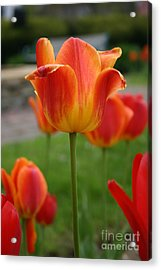 Tulip Collection Photo 1 Acrylic Print