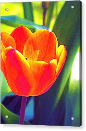 Acrylic Print featuring the photograph Tulip 2 by Pamela Cooper
