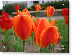 Tulip Collection Photo 2 Acrylic Print