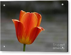 Tulip Collection Photo 5 Acrylic Print
