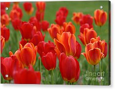 Tulip Collection Photo 7 Acrylic Print