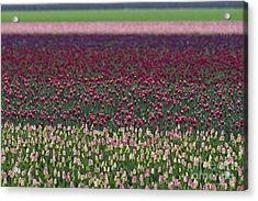 Tulip Abstract Acrylic Print