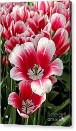 Tulip Annemarie Acrylic Print