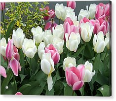 Purple And White Tulips Acrylic Print by Catherine Gagne