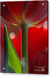 Tulip Bokeh Acrylic Print by Trena Mara