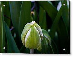 Tulip Bud Acrylic Print
