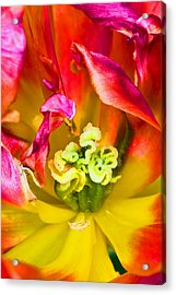 Tulip Close Up Acrylic Print