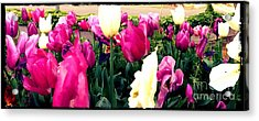 Acrylic Print featuring the photograph Tulip Delight by Leslie Hunziker