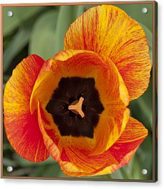 Acrylic Print featuring the photograph Tulip Design by Terri Harper