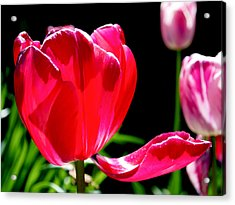 Tulip Extended Acrylic Print by Rona Black