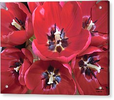 Tulip Fantasy Limited Edition Of 33 Acrylic Print