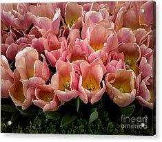 Tulip Festival - 5 Acrylic Print