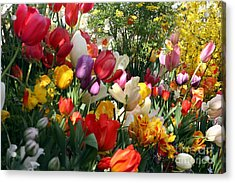 Acrylic Print featuring the photograph Tulip Festival by Mary Lou Chmura
